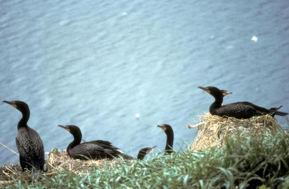 Double-crested Cormorants Nesting, Alaska Maritime National Wildlife Refuge. Photo: Donna Dewhurst, U.S. Fish and Wildlife Service