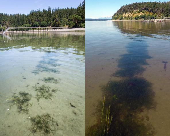 A 2015 eelgrass checkerboard pattern transplantation shown in 2016 (year 1, left) has coalesced into a more continuous patch by 2017 (year 2, right). Photos: Aaron Barna (left), Jeff Gaeckle (right)