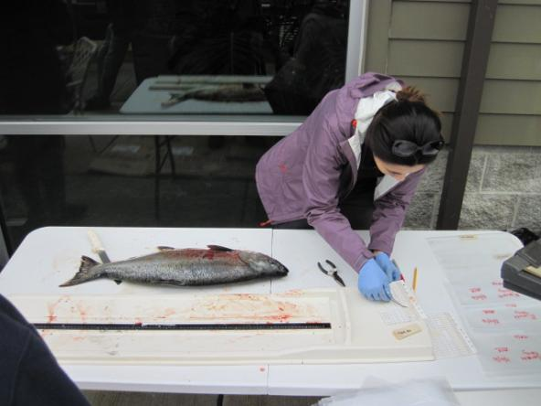 Mariko Langness, a biologist with the Washington Department of Fish and Wildlife, collects fish scales from a chinook salmon to establish its age before testing for toxic chemicals. Photo: WDFW