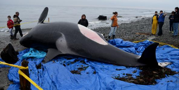 The carcass of J32, nicknamed 'Rhapsody,' lies on the beach as bystanders gather. Photo: Marcie Callewaert