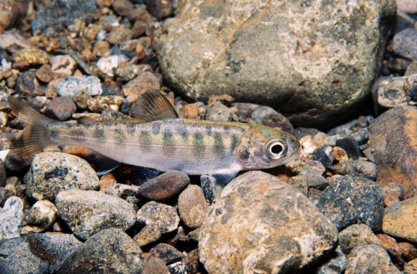 Juvenile Chinook salmon. Photo: Roger Tabor/USFWS (CC BY 2.0) https://www.flickr.com/photos/usfwspacific/6093344388