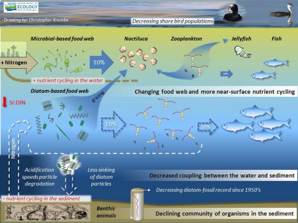 Food web diagram showing increased nutrient cycling in the water and less in sediment. Drawing: Christopher Krembs, WA Ecology