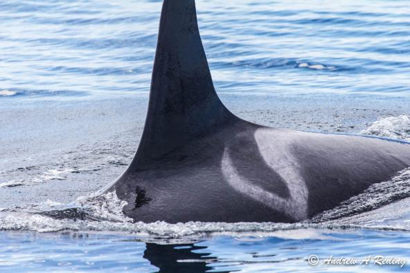 Saddle patch marking behind dorsal fin of orca L25, Ocean Sun. Photo: Andrew Reding (CC BY-NC-ND 2.0) https://flic.kr/p/fLDPCR