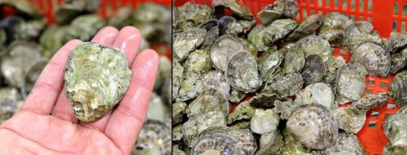 Two images showing a hand holding a single Olympia oyster (left) and dozens in a plastic bin (right). Photos: Sarah DeWeerdt