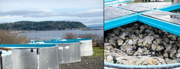 Three oyster setting tanks wrapped in silver insulation; view inside one showing bags of oyster shells. Photos: Sarah DeWeerdt