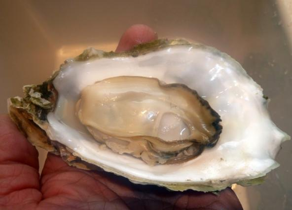 Prime Drayton Harbor oyster. Photo: Steve Seymour