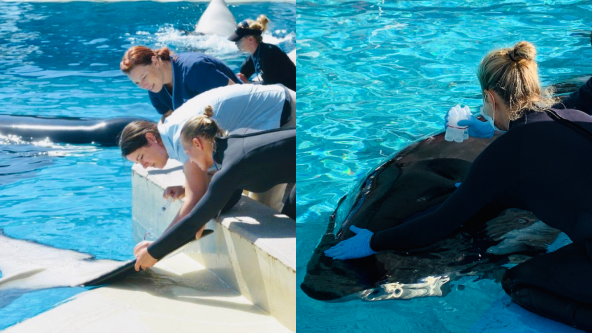 Employees at SeaWorld Orlando's Zoological Department take a blood sample (left) and a breath sample (right) from killer whales living at the marine park. Photos: SeaWorld