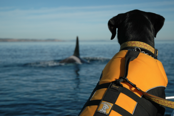 Tucker, a Labrador retriever mix, has a keen ability to track down killer whale feces, which contains trace levels of hormones and toxic chemicals. Researchers can tell a great deal from these fecal samples, including whether a female orca is pregnant. Photo: Kelley Balcomb-Bartok