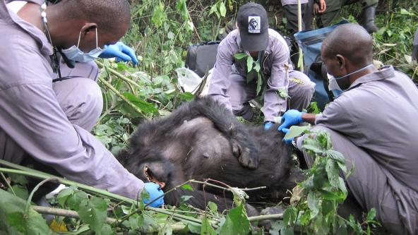 Veterinarians tend to a mountain gorilla patient in an East African forest. Photo: Gorilla Doctors