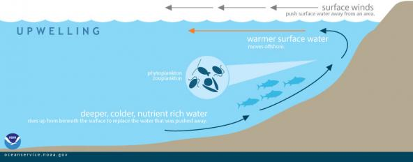 "This graphic shows how displaced surface waters are replaced by cold, nutrient-rich water that ""wells up"" from below. Graphic: NOAA"