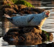 Harbor seal vocalizing on rock. Credit: G.E. Davis