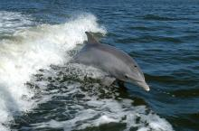 A bottlenose dolphin surfs the wake of a boat. Photo: NASA