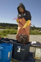 Swinomish Tribe harvest of bait clams. Photo by Kari Neumeyer.