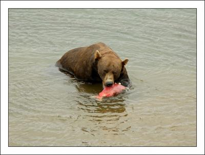 Bear eats salmon. Photo: Robert Voors (CC BY-NC-ND 2.0) https://www.flickr.com/photos/robert_voors/1303192433