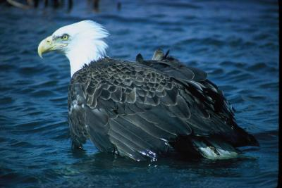 Bald eagle (Haliaetus leucocephalus). Image courtesy U.S. Fish and Wildlife Service.
