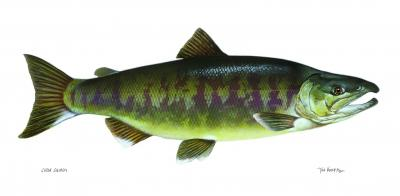 Chum salmon (Oncorhynchus keta). Image courtesy U.S. Fish and Wildlife Service.