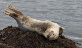 Harbor seal. Photo: Ingrid Taylar (CC BY-NC 2.0)