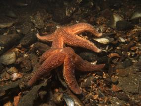 Common starfish feeding on mussels. Photo: James Lynott (CC BY-ND 2.0) https://www.flickr.com/photos/jlynott/11715880653