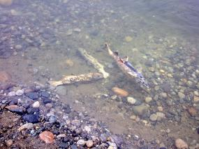 Dead salmon. Photo: Boris Mann (CC BY-NC 2.0) https://www.flickr.com/photos/boris/3037705761