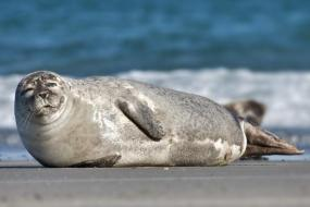 Harbor seal photographed by Andreas Trepte. Available through a Creative Commons Attribution Share Alike 2.5 license.