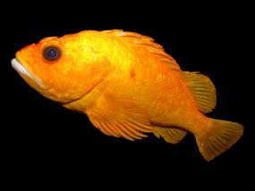 Yelloweye rockfish. Photo by Brian Gratwicke; Creative Commons Attribution 2.0 Generic license: http://www.flickr.com/photos/19731486@N07/5624404677