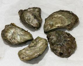 Olympia oysters. Photo: VIUDeepBay (CC BY 2.0) https://www.flickr.com/photos/viucsr/5778358466