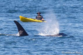 18-year-old L92 Crewser male resident orca, born 1995, and kayaker. Photo: Andrew Reding (CC BY-NC-ND 2.0) https://www.flickr.com/photos/seaotter/9259744196/