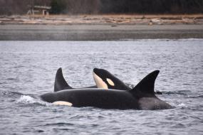 Bigg's killer whales. Photo: copyright Monika Shields, with permission