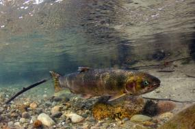 A steelhead (Oncorhynchus mykiss) in the Cascade River, WA, 2014. Photo: © Morgan Bond http://www.morganhbond.com/