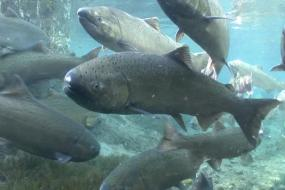 Spring Chinook Salmon. Photo: Michael Humling, US Fish & Wildlife Service