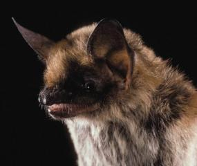 Fringed Myotis. Photo © Merlin D. Tuttle, Bat Conservation International, www.batcon.org