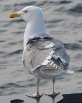 Glaucus-winged gull. Image courtesy of USGS.