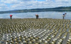 A geoduck farm near Totten Inlet between Shelton and Olympia. Photo: KBCS (CC BY 2.0) https://flic.kr/p/8gHRA8