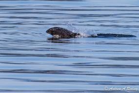 Harbor Porpoise (Phocoena phocoena). Bellingham Bay, WA. Photo: Andrew Reding (CC BY-NC-ND 2.0)