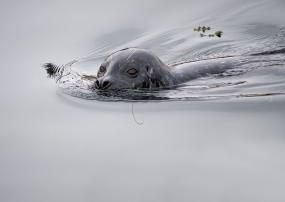 Harbor seal in the water