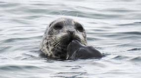 Adult harbor seal with pup. Photo: Mark Ahlness (CC BY-NC-ND 2.0)