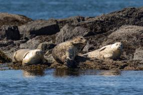 Harbor seals, San Juan Islands. Photo: Mick Thompson (CC BY-NC 2.0) https://flic.kr/p/JVtiJy