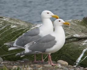 Glaucous-winged gulls. Photo courtesy of James Hayward.