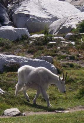 Mountain goats are commonly found in alpine habitat. Photo by Jennifer Vanderhoof.