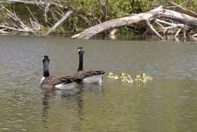Canada geese, commonly seen in Lake Washington. Photo by Jennifer Vanderhoof.