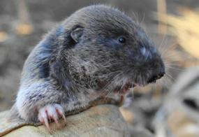Mazama Pocket Gopher. Photo courtey of WDFW