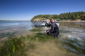 Jeff Gaeckle measures the length of eelgrass using a measuring stick and later records the information for a study on the rate of growth near Joemma Beach State Park in South Puget Sound. Photo: Aaron Barna