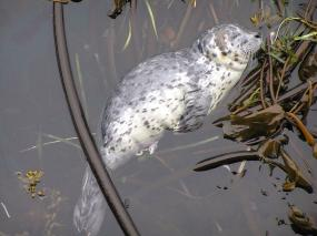 Newborn harbor seal napping on a bed of kelp
