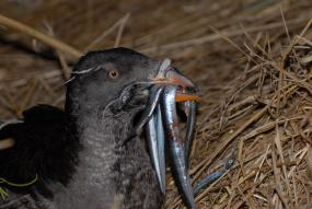 Rhinoceros Auklet carrying sand lance. Photo by Peter Hodum.