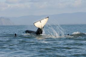 Southern resident killer whales. Photo by Candice Emmons/NOAA Fisheries (CC BY-NC-ND 2.0)
