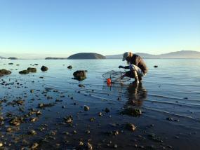 Sharon Riggs from Padilla Bay National Estuarine Research Reserve sets a Fukui trap to monitor European green crabs. Photo: Emily Grason/WSG