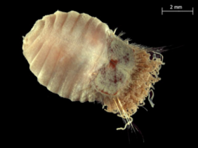 Sternaspis affinis