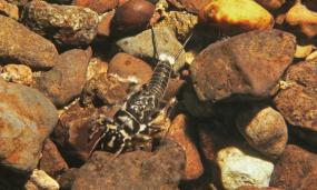 Close up of a stonefly larva on river rocks.