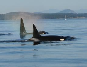 Southern Resident Killer Whales in Puget Sound. Photo courtesy of NOAA