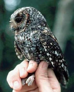 Flammulated owl (photo from Greg Lasley, USGS).